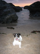 Cornish Dog Millie in Cornwall and link to Dog friendly wedding venues in Cornwall