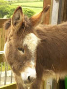 Things to do in Cornwall visit the donkeys at the Flicka Foundation